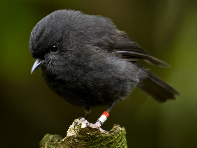 The Black Robin Conundrum: What Happens When Humans Move Eggs in the Nest