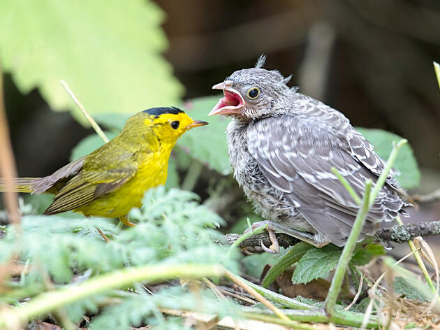 How Does a Cowbird Learn To Be a Cowbird?