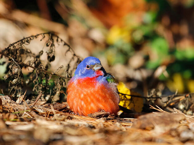 What Became Of Brooklyn's Painted Bunting?