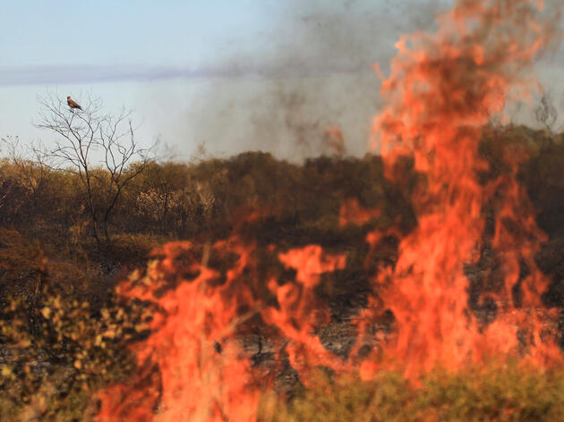 Can Birds Actually Start Forest Fires?