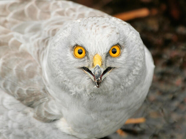 What's Happening to England's Hen Harriers?