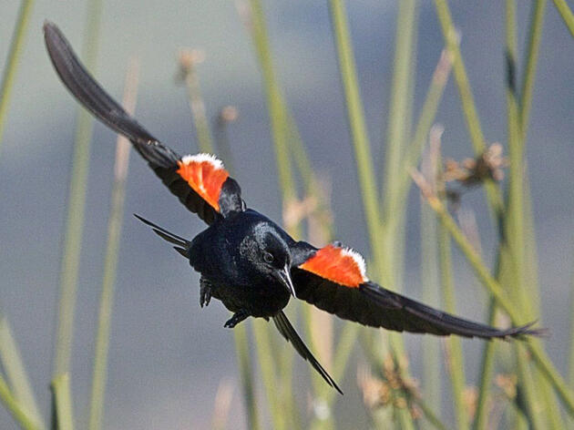 Tricolored Blackbird May Be Listed as Endangered in California