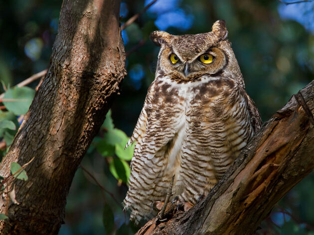 Can You Recognize the Call of a Great Horned Owl?