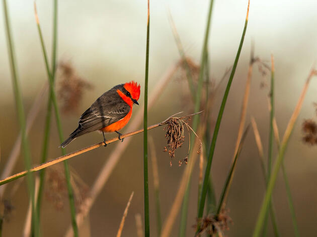 Why Some Birds Have Red Feathers