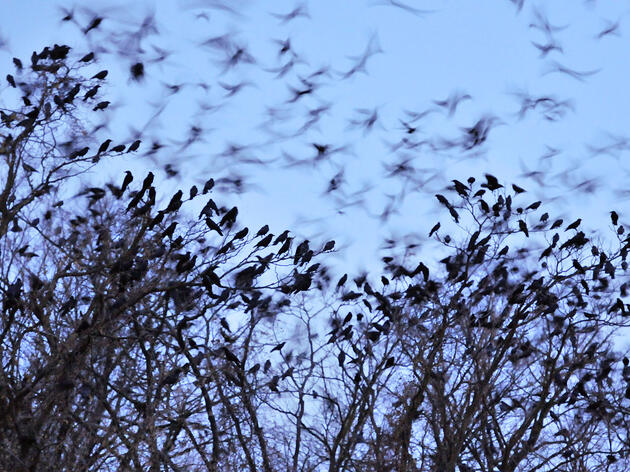 How to Stop a Murder of Crows (Hint: Throw Them a Giant Party)