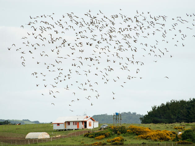 How Young Chileans Are Saving the Hudsonian Godwit