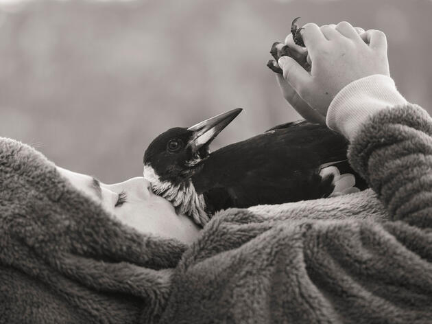Penguin the Magpie: The Bird That Became A Bloom