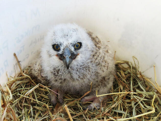 The Men Who Save Baby Owls