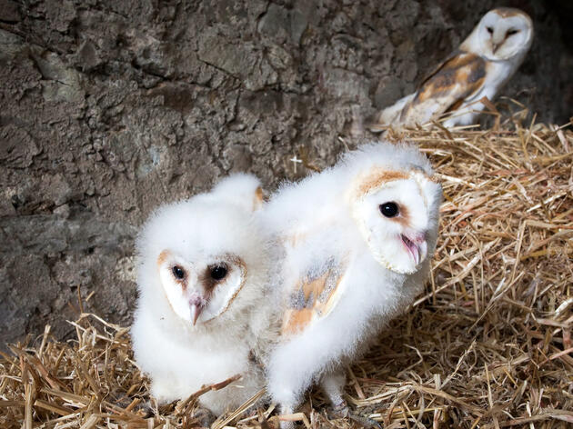 Family Ties: Barn Owl Chicks Let Their Hungry Siblings Eat First