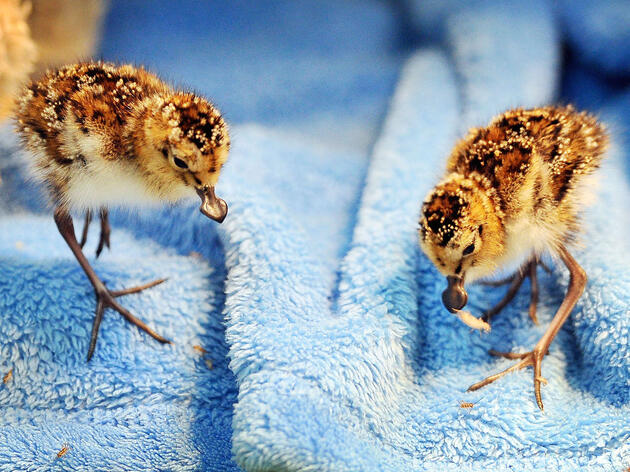 Precious Spoon-Billed Sandpiper Eggs Under Close Watch in the U.K.