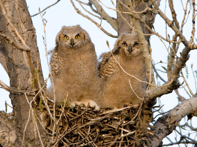 The Sounds of Hungry Owlets