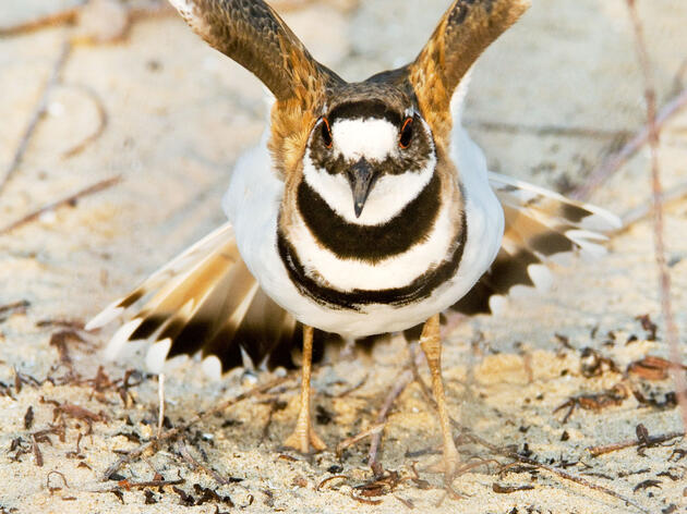 How Sentinel Birds Help Neighbors Avoid Predators