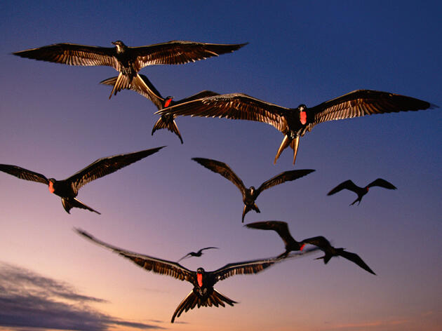 Scientists Finally Have Evidence That Frigatebirds Sleep While Flying