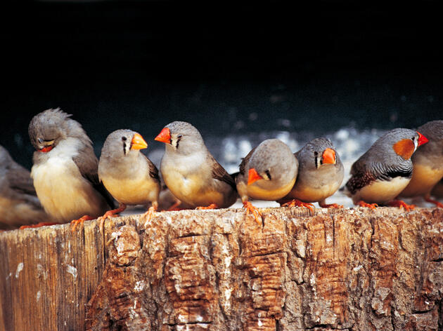 Young Zebra Finches Sow the Seeds of Rebellion