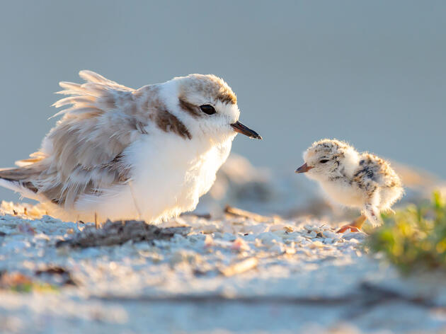 Florida's Shorebirds Saw a Big Breeding Bump After Hurricane Michael