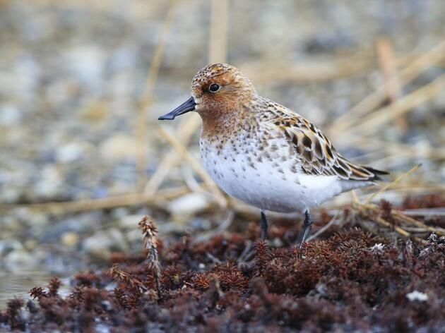 Fighting to Save the Spoon-billed Sandpiper From Extinction In Five Years