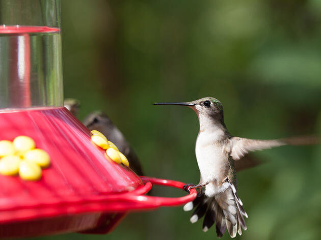 Where Do Hummingbirds Get All That Energy?