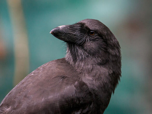 Reintroduced Hawaiian Crows Are Learning How to Live in the Wild