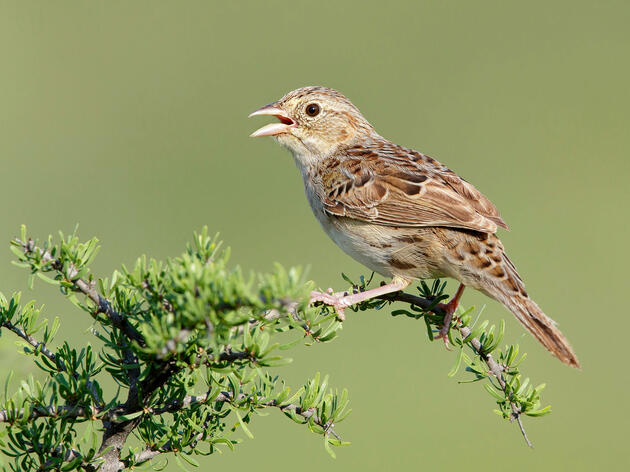 Monsoons Bring a Flood of Sparrow Song to the Sonoran Desert