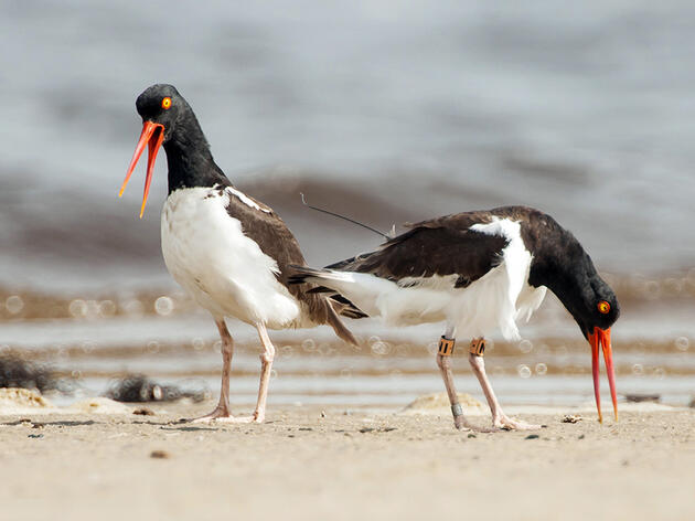 A Project Tracks Oystercatchers to Save Them