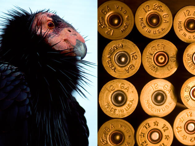 A Bill to Ban Lead Ammunition Could Protect California Condors