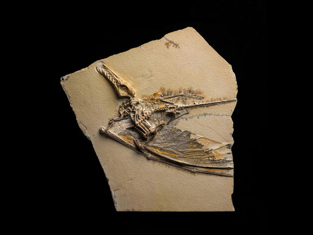 Pterosaurs Take Wing Again at American Museum of Natural History