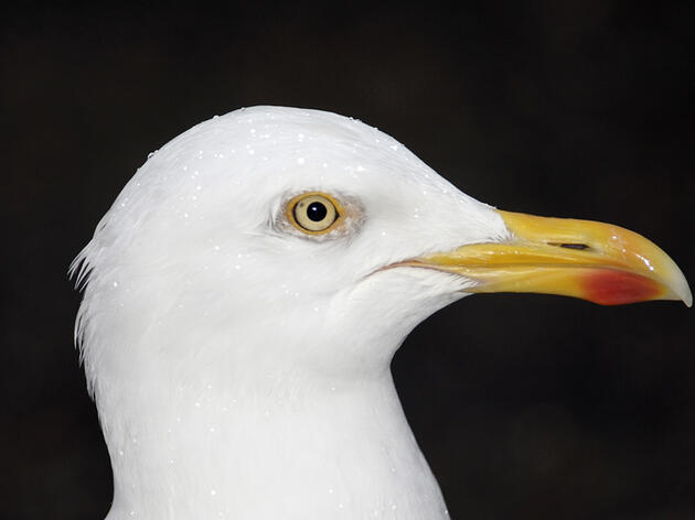 Why Do Gulls Have a Red Spot on Their Bills?