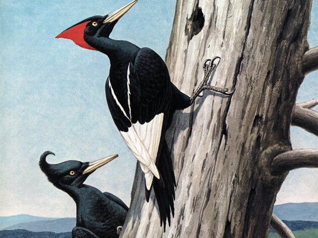 In Search of the Imperial Woodpecker