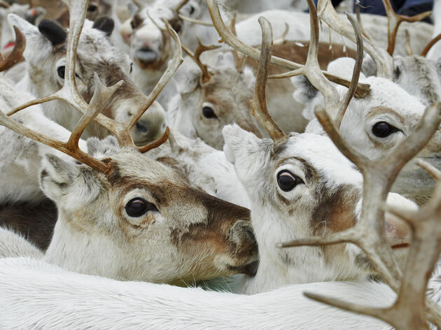 Arctic Reindeers' Eyes Change Colors with the Seasons