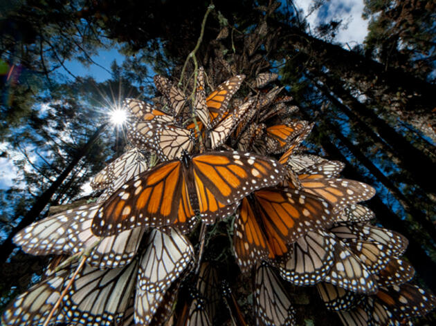 Barbara Kingsolver and Butterflies
