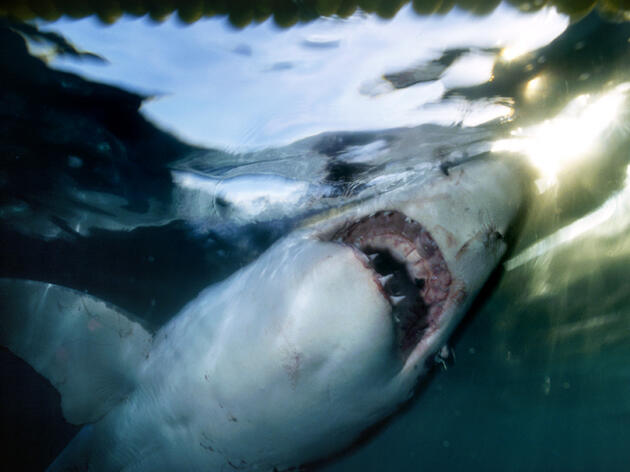 Great White Sharks Binge on Dead Whales