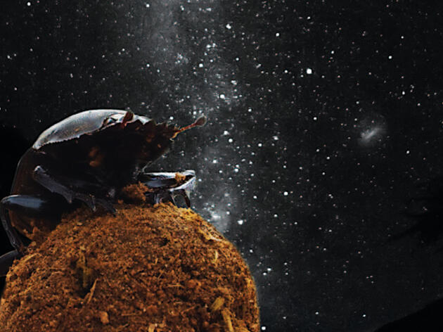 Dung Beetles Navigate by the Stars