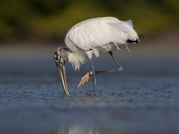 A Win for Wood Storks
