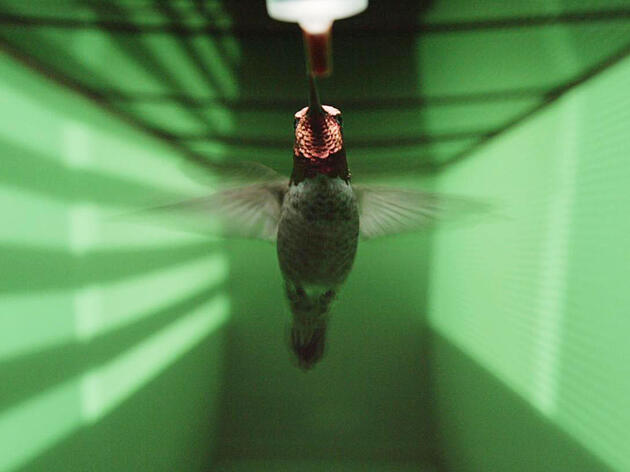 How Do Hummingbirds Fly Without Crashing?