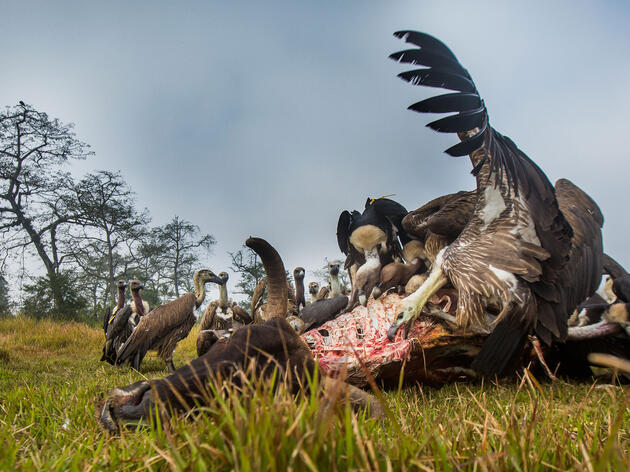 Nepal's Endangered Vultures Are Finally Making a Comeback