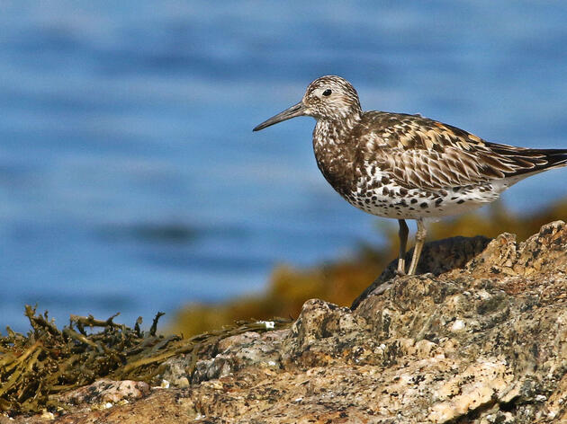 Extremely Rare (and Lost) Bird Seen Vacationing Near the Coast of Maine