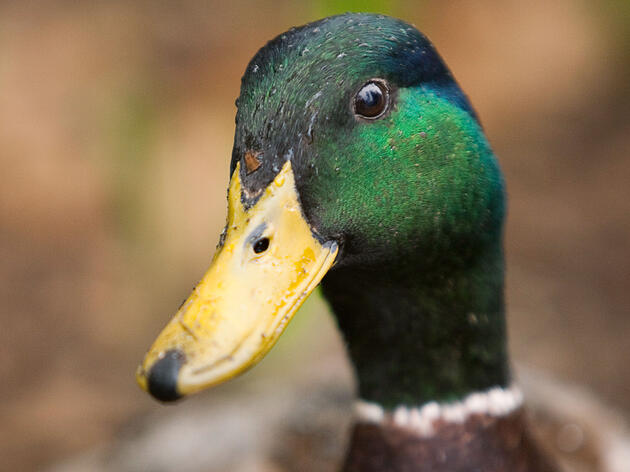 Rule #91: Think of Something Nice to Say About Mallards