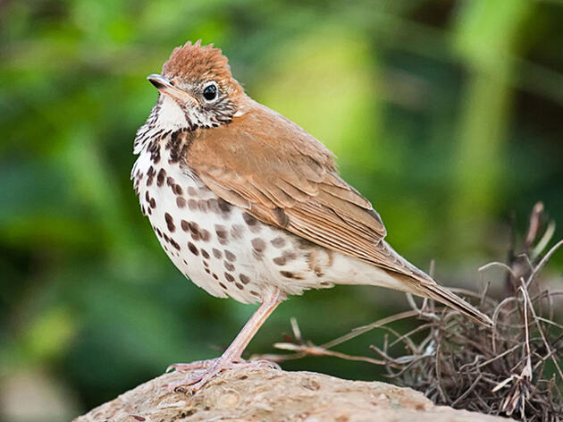 North American Birds Face Thirty Percent Decline Across The Board