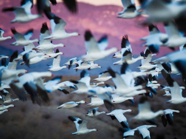 Lasers, Drones, and Air Cannons: Inside the Effort to Save Migrating Waterfowl From a Toxic Death