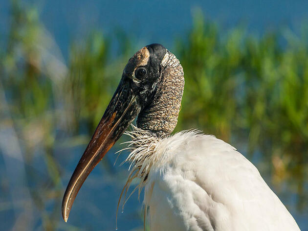 After a Two-Year Absence, Wood Storks Are Nesting at Corkscrew Swamp Again