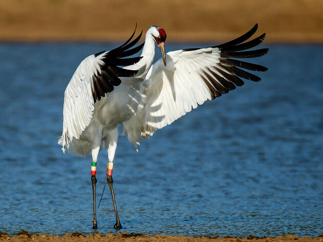 Should the Whooping Crane Shooter's Fine Have Been Higher?