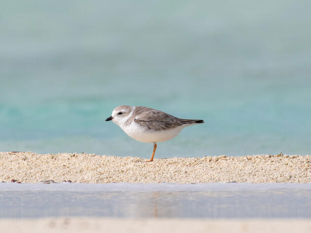 Hundreds of Atlantic Piping Plovers Are Missing After Hurricane Matthew