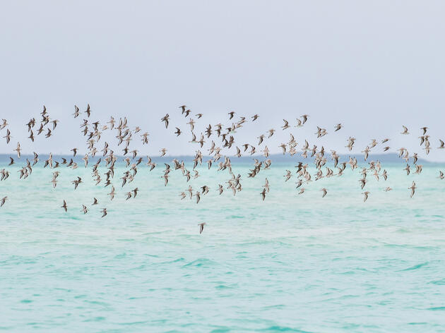 Why Counting Piping Plovers in the Bahamas Is Harder Than It Sounds