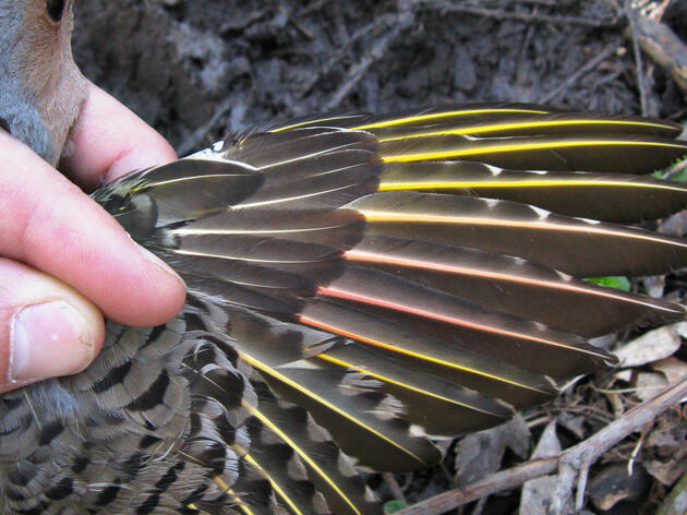 Mystery Solved: Invasive Berries to Blame for Turning Flickers' Feathers Pink