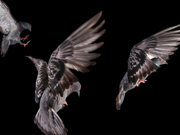 How and Why Rock Pigeons Clap Their Wings