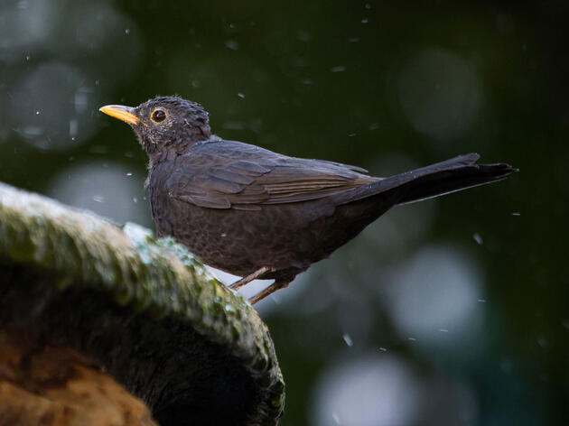 What the Beatles Song 'Blackbird' Was Really About
