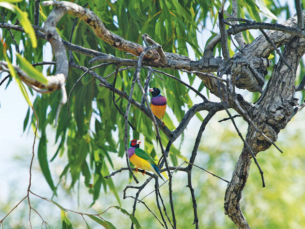 How Australia's Aborigines Are Using Fire to Save the Dazzling Gouldian Finch