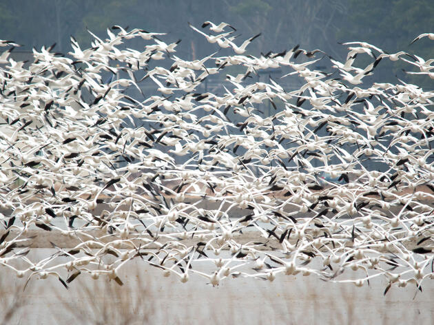 Thousands of Snow Geese Die After Landing in Poisonous Mine Waters