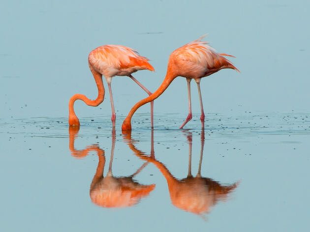 Watch: Flamingos Add a Dash of Color to the Florida Everglades