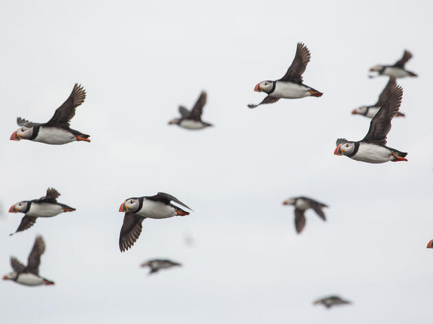 Five Hotspots for Photographing Puffins, Murres, Auklets, and More